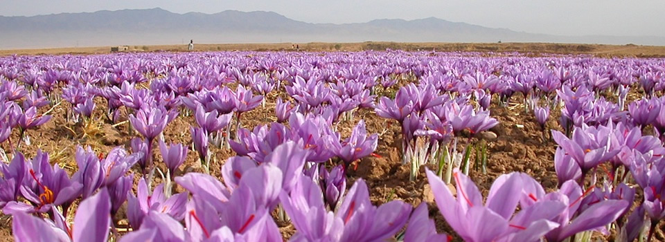 Saffron field in Iran